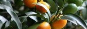 Il mandarino dei campi flegrei