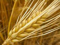 Divella e ScaF: contratto di filiera sul grano duro